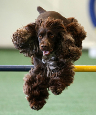 A spaniel in a pet competition