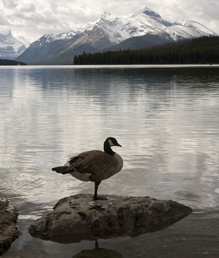 A Canadian goose takes a one-legged nap at the edge of Lake Maligne, Canada, July 5, 2009