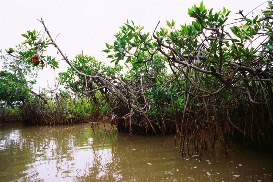 Mangrove trees in Pichavaram play host to many species of birds