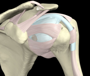 The ligaments of the shoulder joint