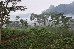 Ripe for the picking: the Hantane tea estate before harvest