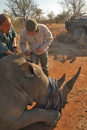 Mark Boucher inspects a tranquilised rhino