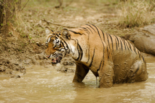 A tiger in Ranthambore