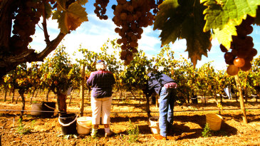 Grape pickers in Barossa Valley