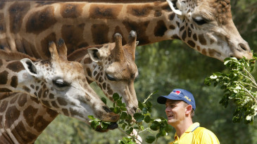 Adam Gilchrist feeds giraffes in the Melbourne Zoo