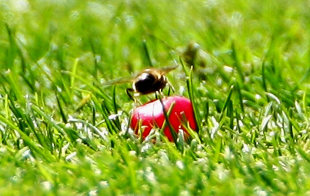 A bee sits on a jelly bean lying on the outfield, England v India, 2nd Test, Trent Bridge, 5th day, July 31, 2007
