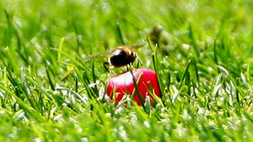 A bee sits on a jelly bean lying on the outfield